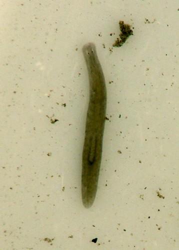 Flatworm (Turbellaria, genus Hymanella?)