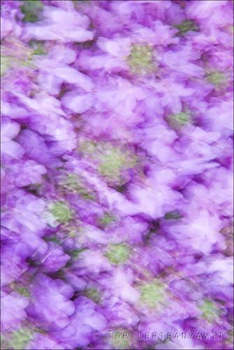 Impressions of purple flowers