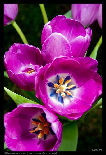 Tulpen (25-04-2010).