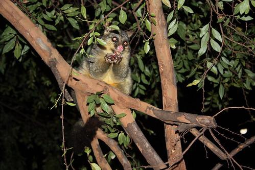 Brushtail Possum in Hyde Park, Sydney