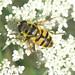Diptera: flies, midges, hoverflies...