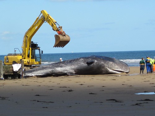 Redcar Beached Whale