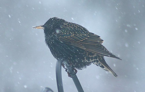 First starling of spring
