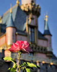 Disney - Disneyland Rose (Explored)