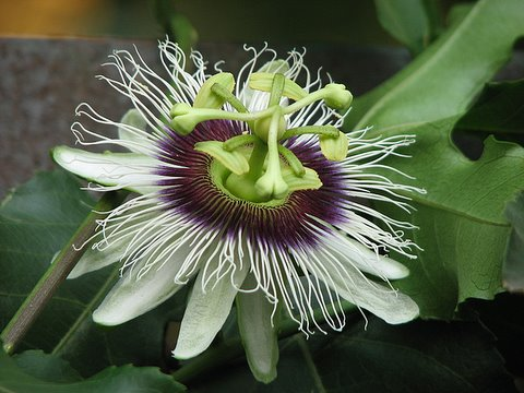passiflora passion flower 310308 mini forest jpnagar