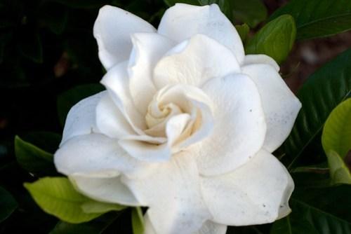 A Perfect Gardenia