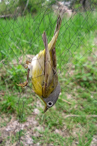 Nashville Warbler in net