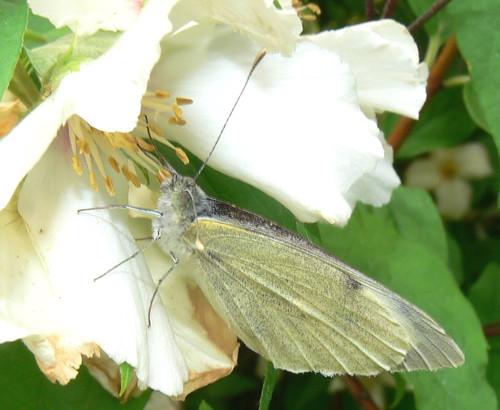 Butterfly on philadelphus