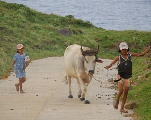 Cow Playmates