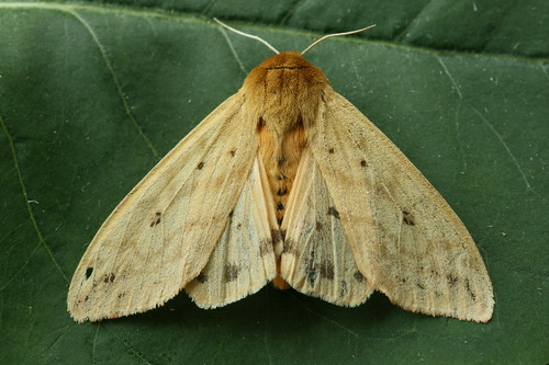 Isabella Moth (Wooly Bear Caterpillar) - Pyrrharctia isabella