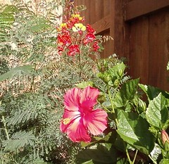 Close-up of Dwarf Poinciana and Hibiscus
