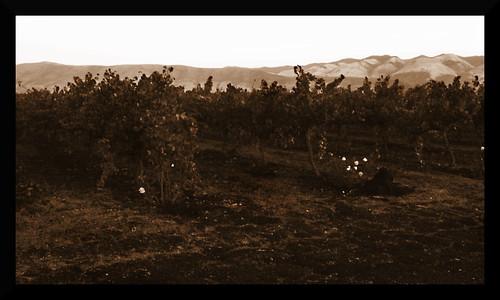 vineyards4edit
