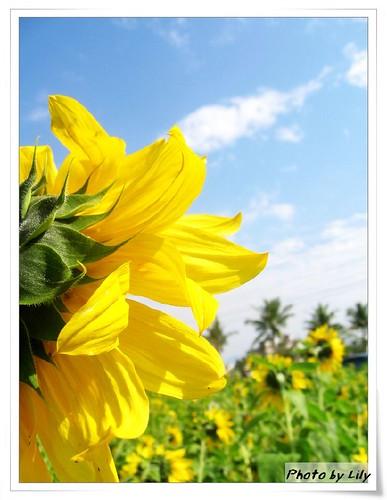 附近農家的向日葵。