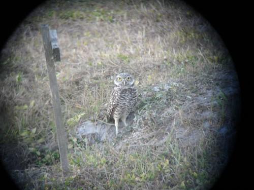 Burrowing Owl, Digiscoped