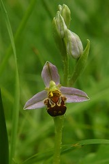 Ophrys apifera on its way to self-fertilization