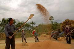 Winnowing and cleaning wheat in Zhuanzui village, in Huangzhong county