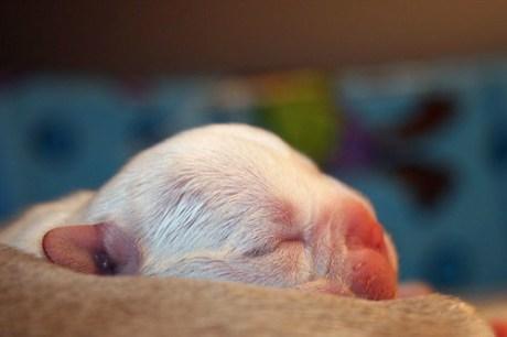 Tiny Baby Cream French Bulldog