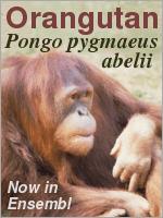 Pongo pygmaeus abelii
