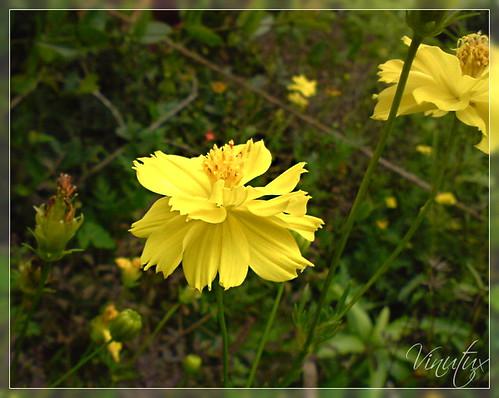 Sunny Yellow 7861