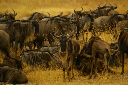 Eastern White-Bearded Wildebeest