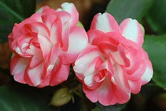 Double Begonias