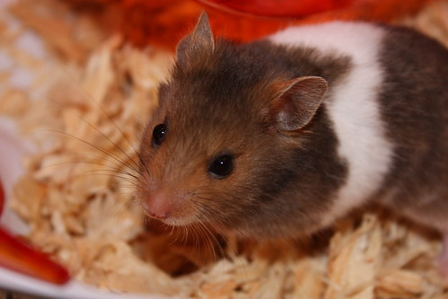 hamster awesome