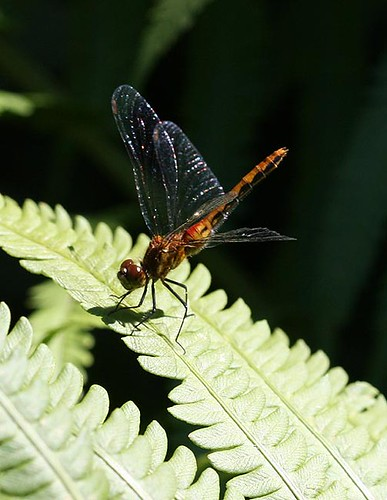 Meadowhawk sp.