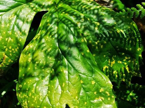 old mayapple leaf