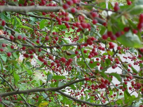 Crabapple fruit at UW Arboretum
