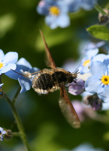 Bee Fly, Bombylius major