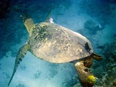 Ben's Sea Turtle