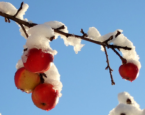 Snowglaced apples