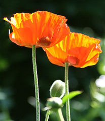 The Barbers' Garden: Poppies