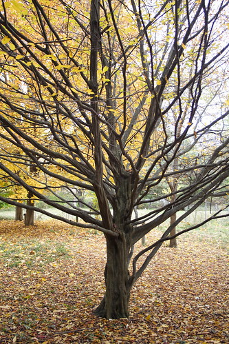 Musclewood - Ted Grisez Arboretum, Audubon Center and Sanctuary, Jamestown, NY