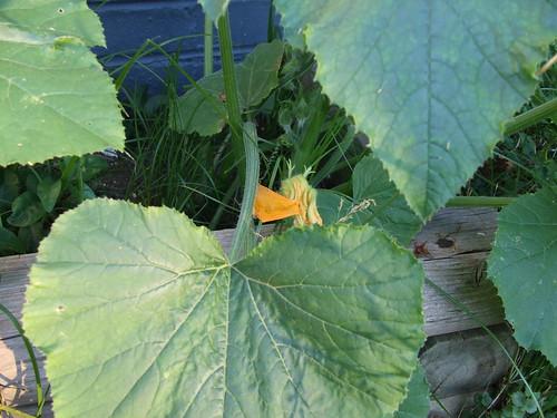 Pumpkin Bloom