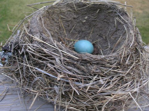 A picture of the nest w/egg that I found a couple of days ago...abandoned, of course!