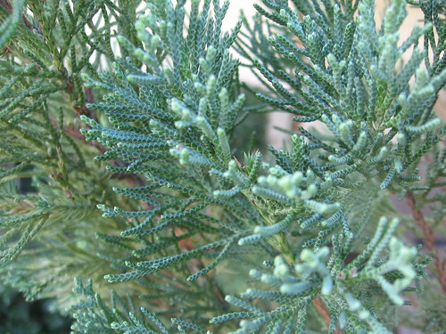 Little Blue Spruce