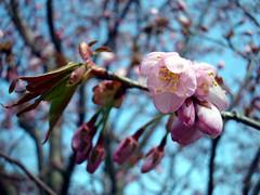 Blossoms Burst