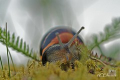 German mollusk