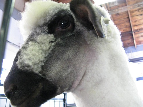 I feel head-over-heels for this sheep.