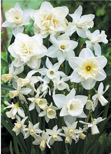 White On White Daffodil Mix by you.