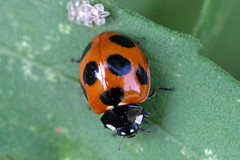 新治市民の森のナナホシテントウ(Ladybug, Niiharu Community Woods, Yokohama, Kanagawa, Japan, 2011)