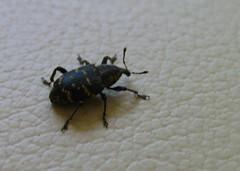 Weevle bug