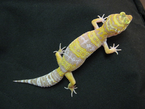 Tremper Albino (female) Het Jungle???