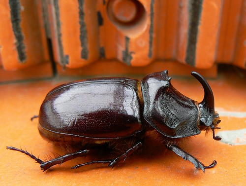 European rhino beetle taking a walk on a concrete mixer by e³°°° on Flickr