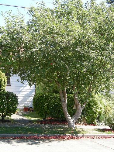 Street apple tree