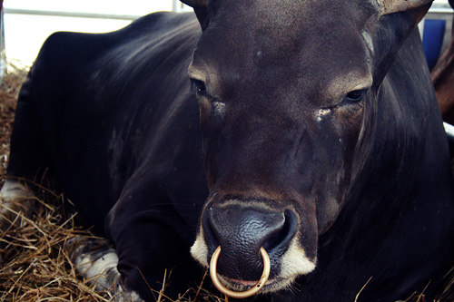 nose ring cow