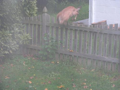 Deer in our yard - 20080912-3
