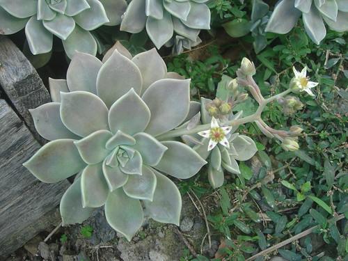 石蓮花開花1-3