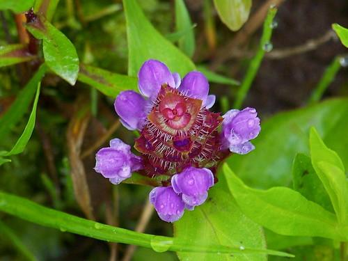 (Alice in) Wonderland flower